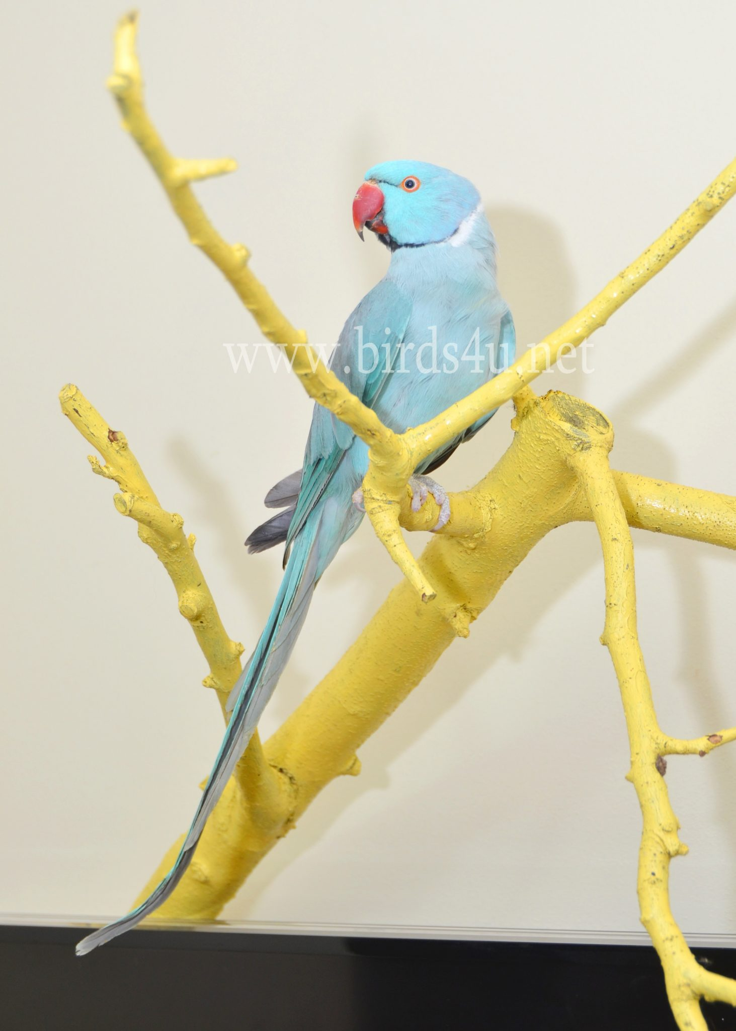 Small blue parrot