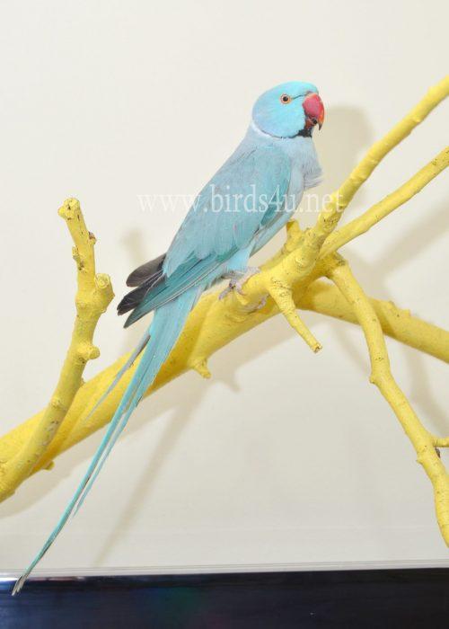 blue ringneck male