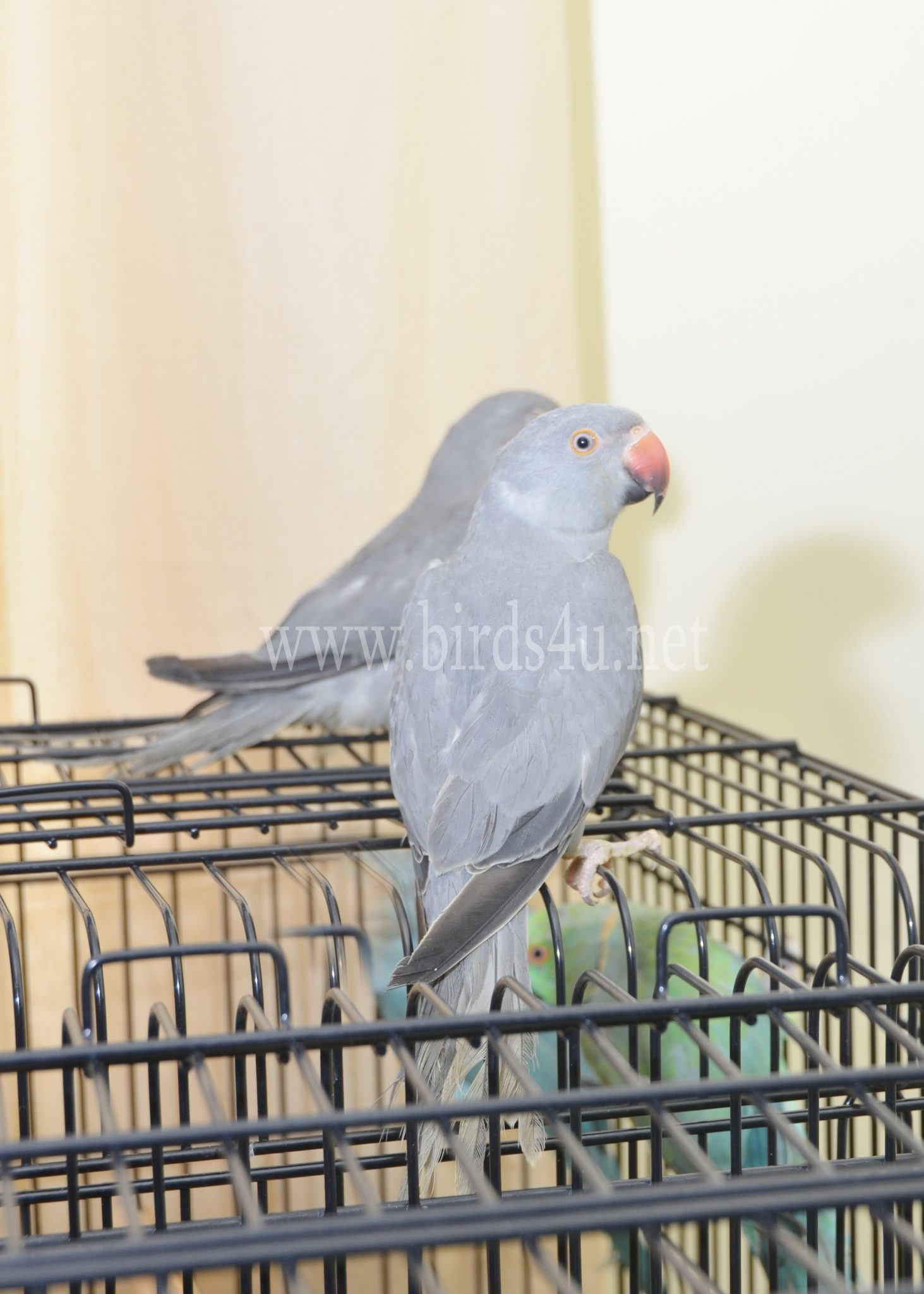 Baby grey ringneck