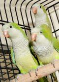 Baby Quaker ringneck parrot birds4u.net