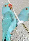 baby-blue-ring-neck-talking-parrot-3-month-old-babies birds4u.net
