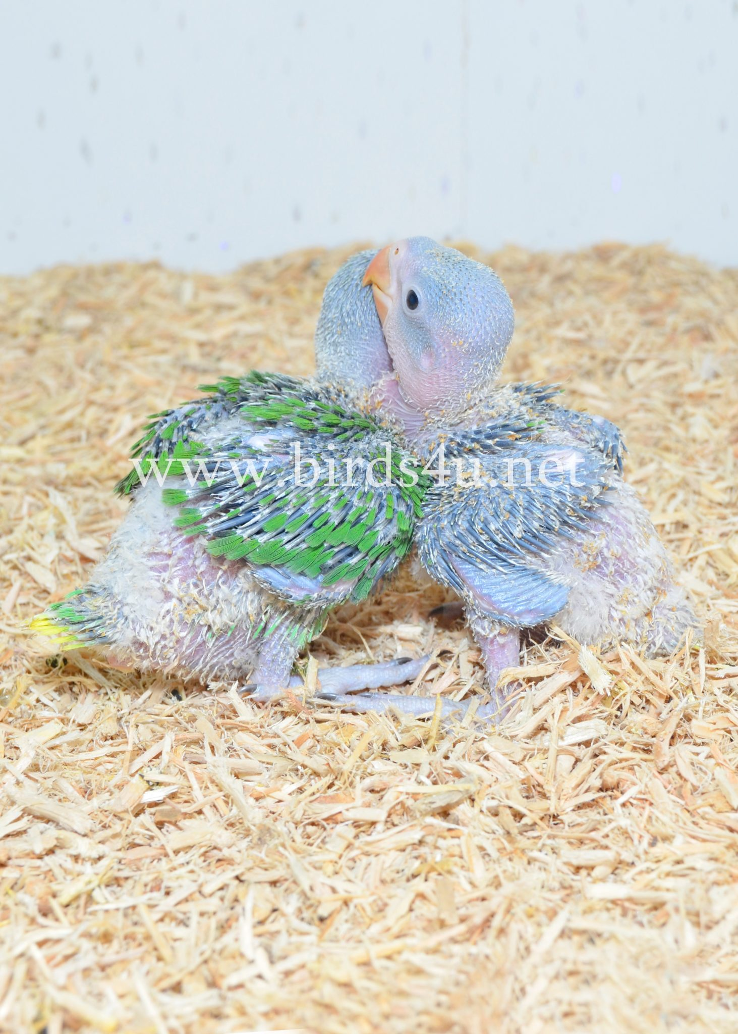 Baby Alexanderin Talking Parrot , Hand Reared Babies
