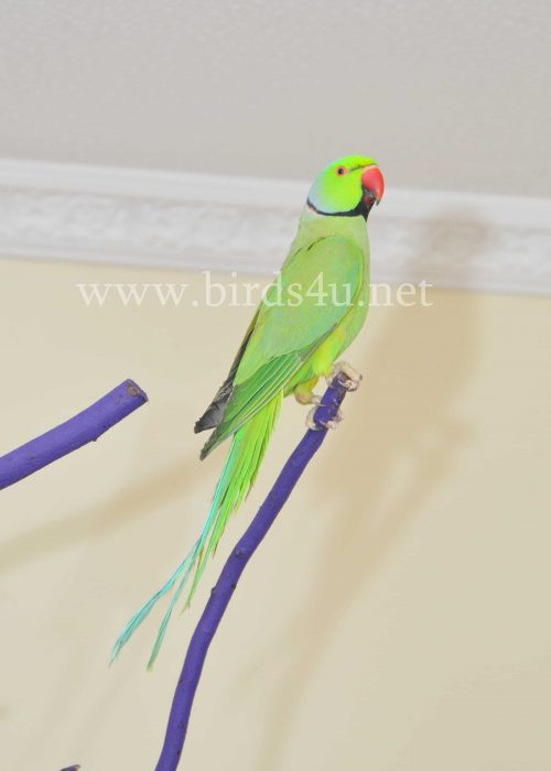 Male Ringneck parrot