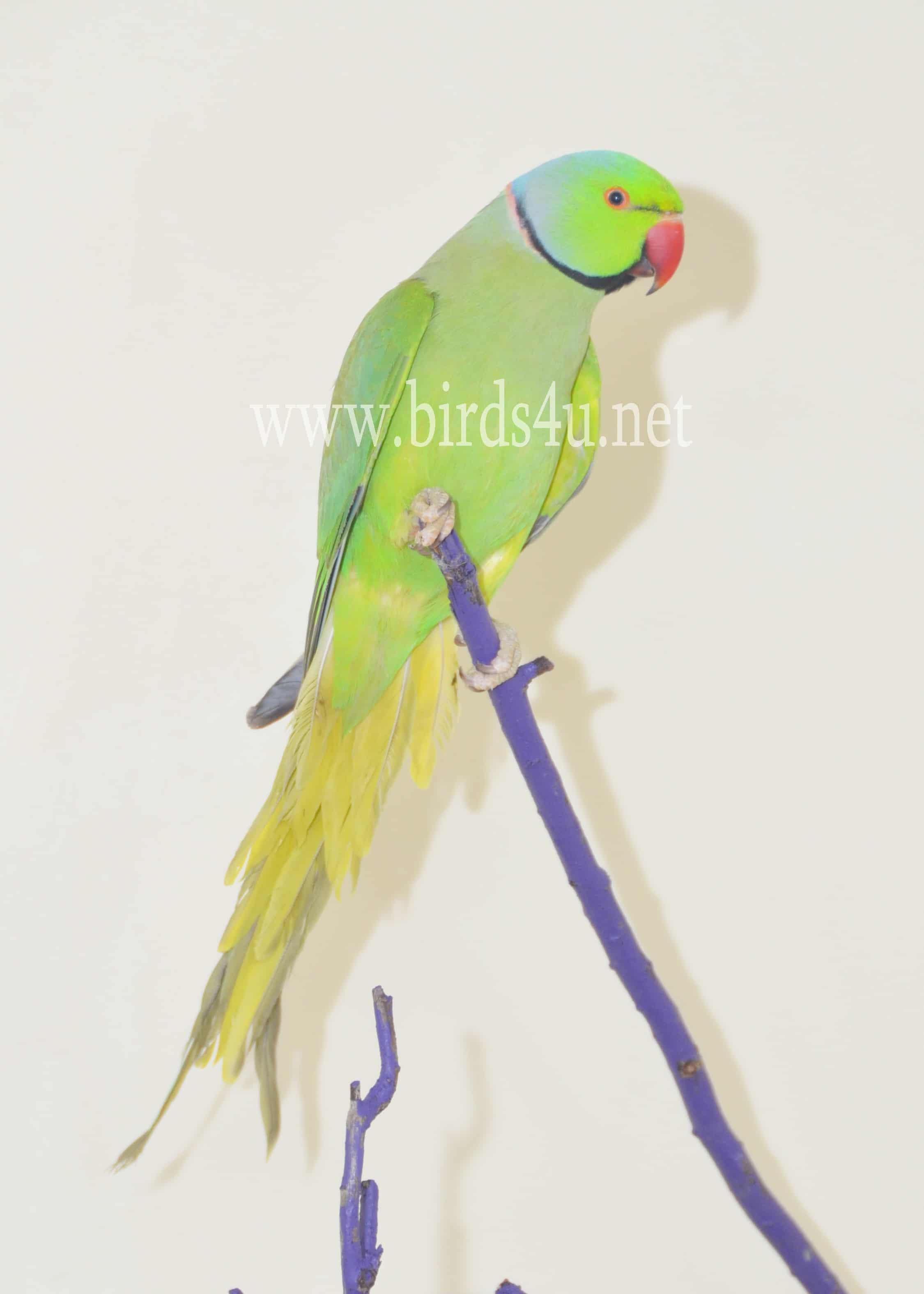 Male Ringneck parrot