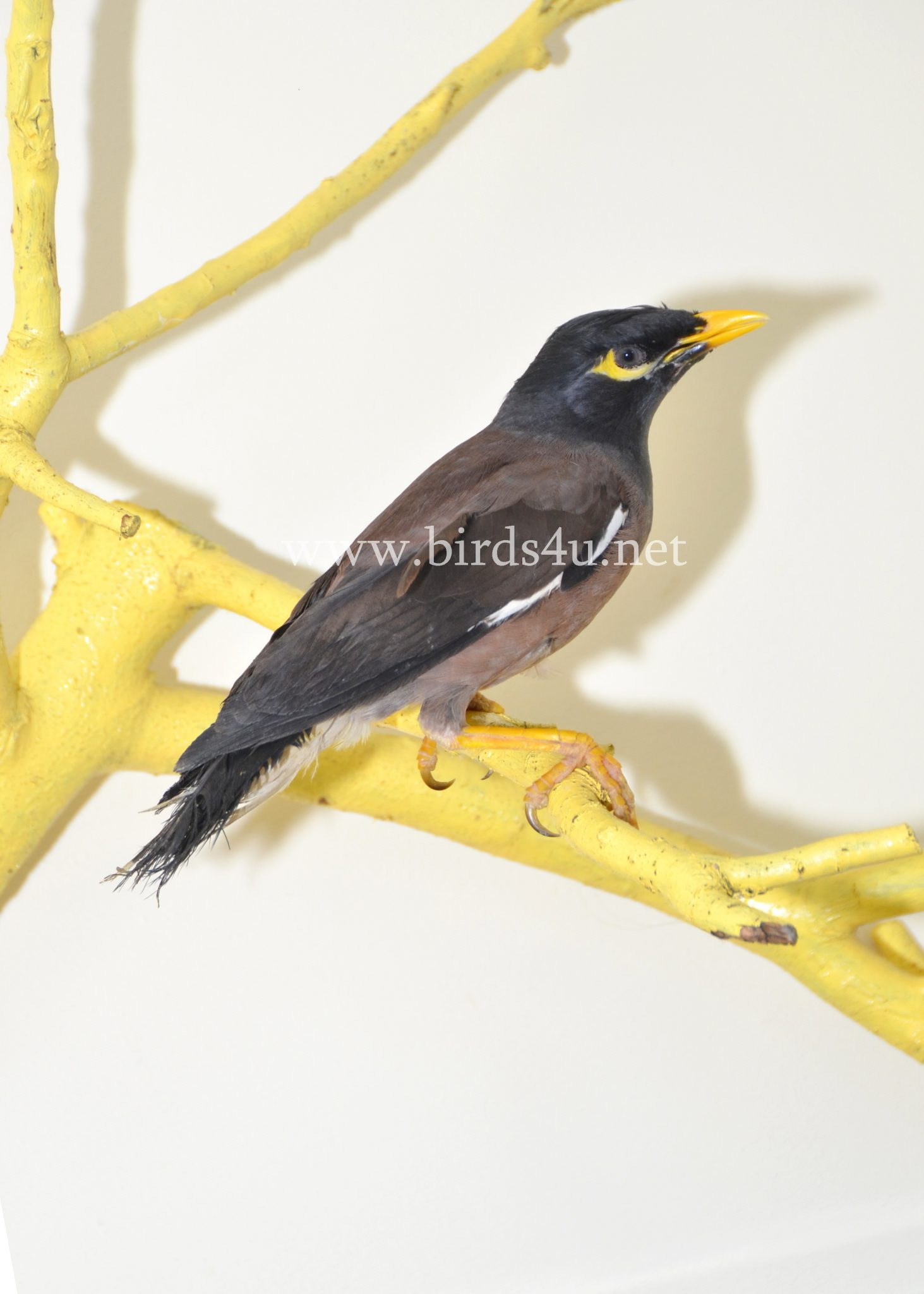 Mynah Bird – Birds4U - photo#34