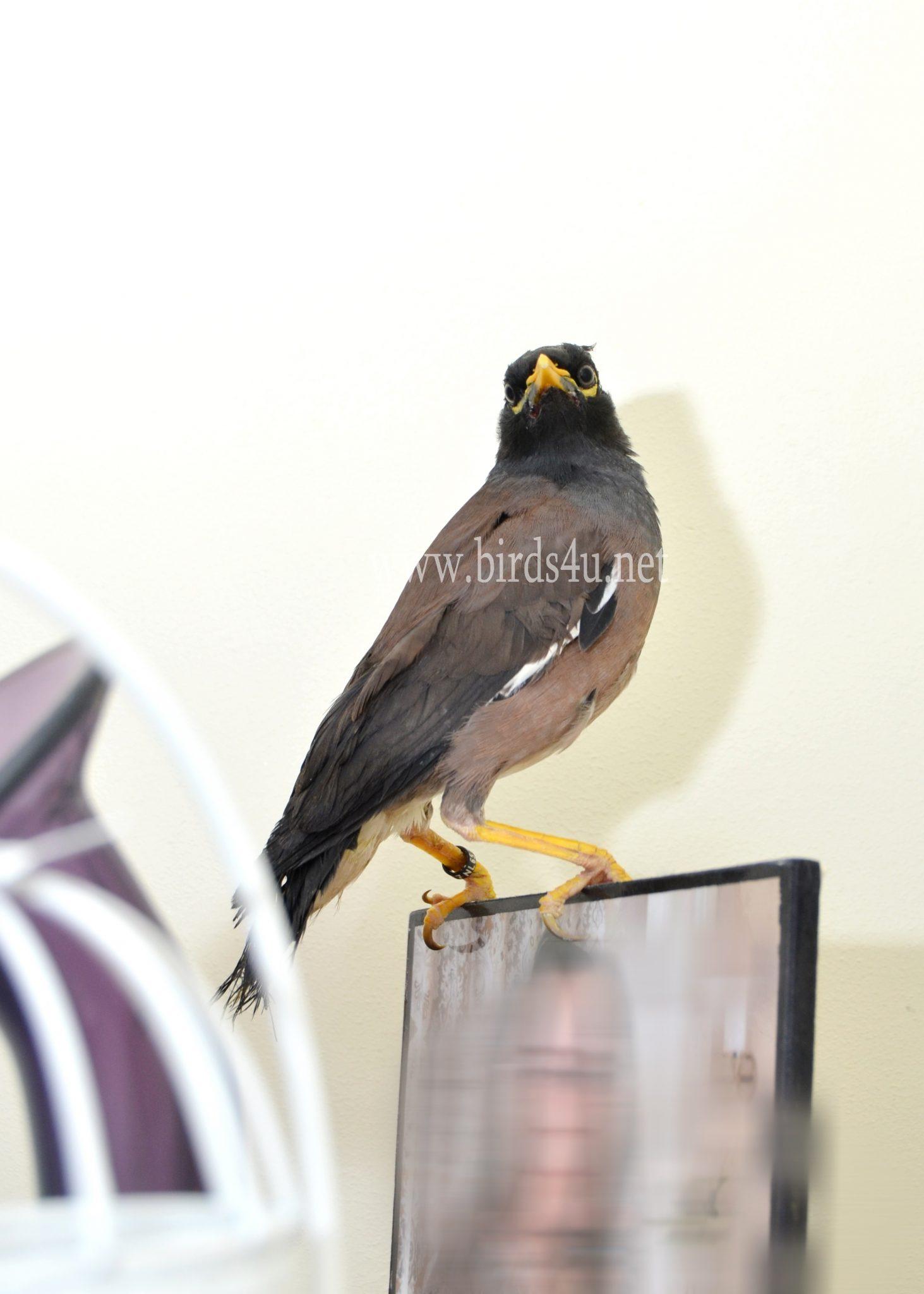 Mynah Bird – Birds4U - photo#20