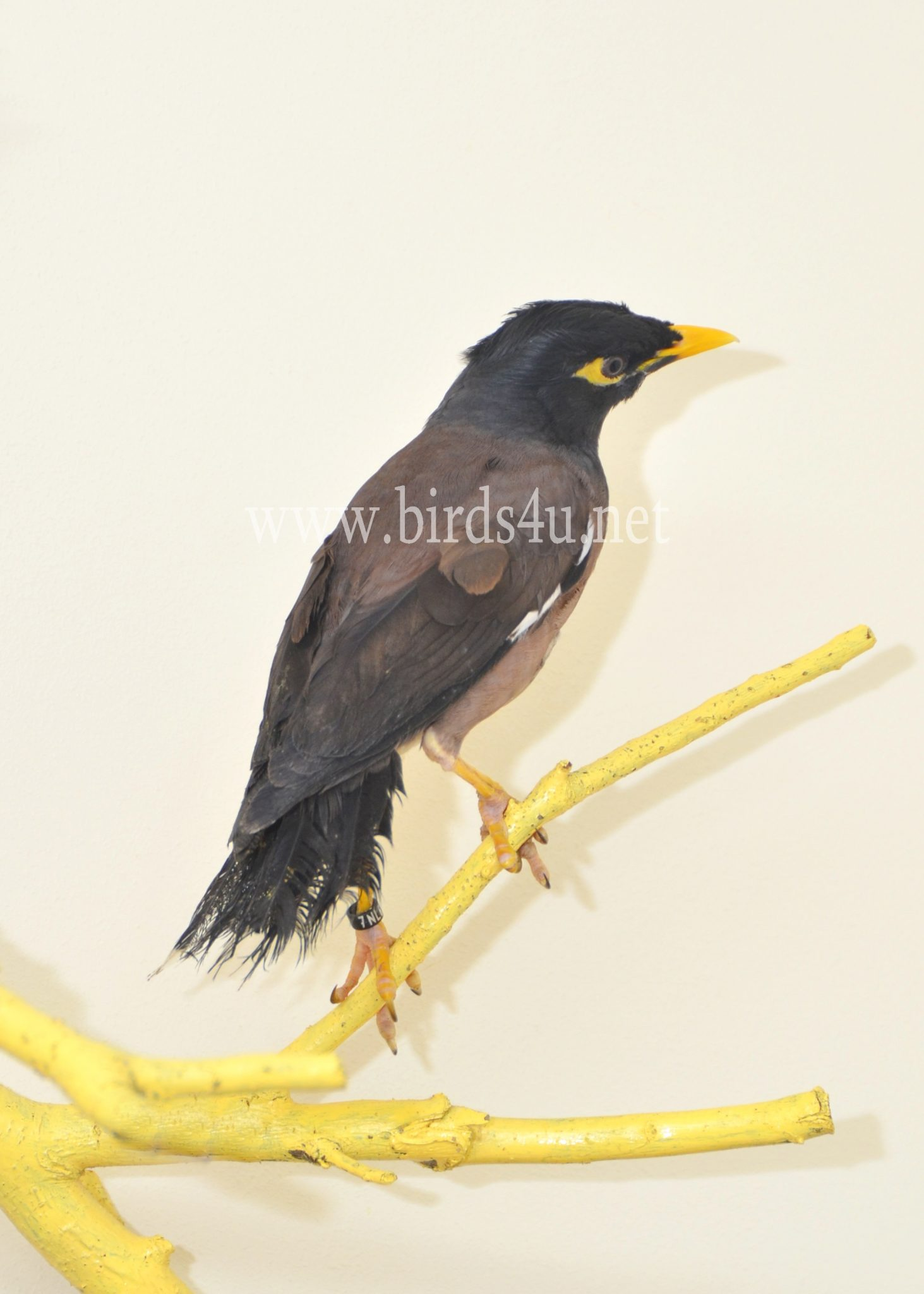 Mynah Bird – Birds4U - photo#14
