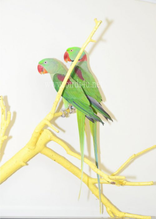 Alexanderin Breeding pair