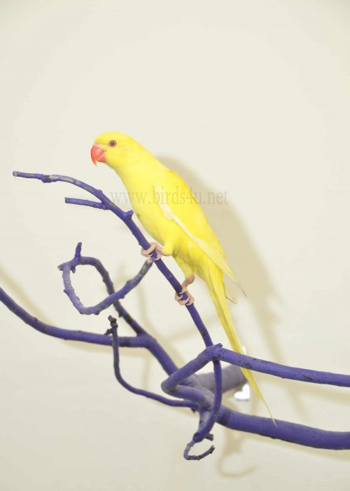 Yellow Ring Neck
