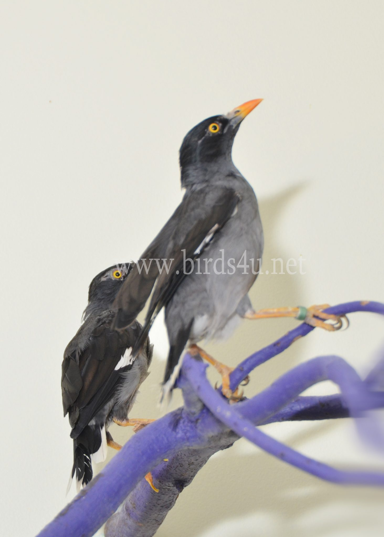 Mynah Bird - photo#45