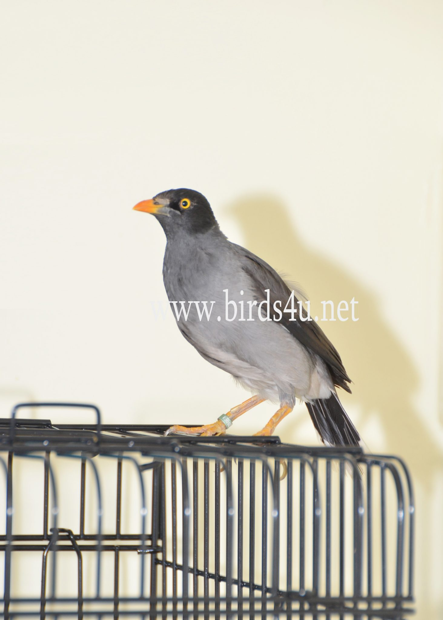 Mynah Bird - photo#35