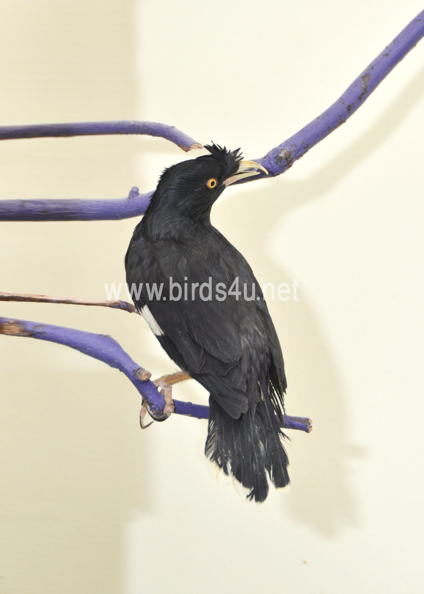 Mynah Bird - photo#49