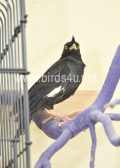 Large Crested Mynah bird