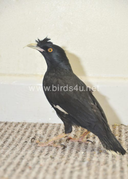 Large Crested Mynah bird