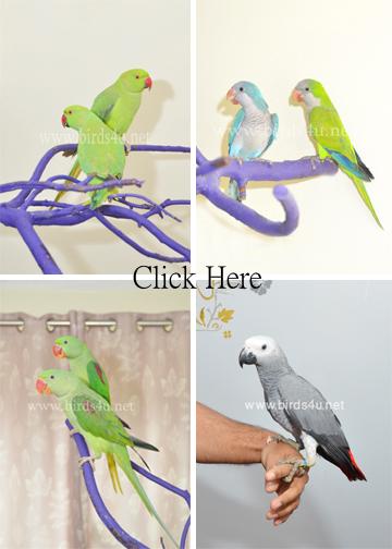 Live Stock (Parrots)