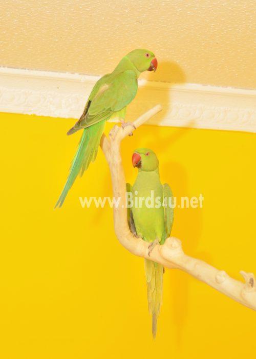 Baby Ringneck Talking Parrot
