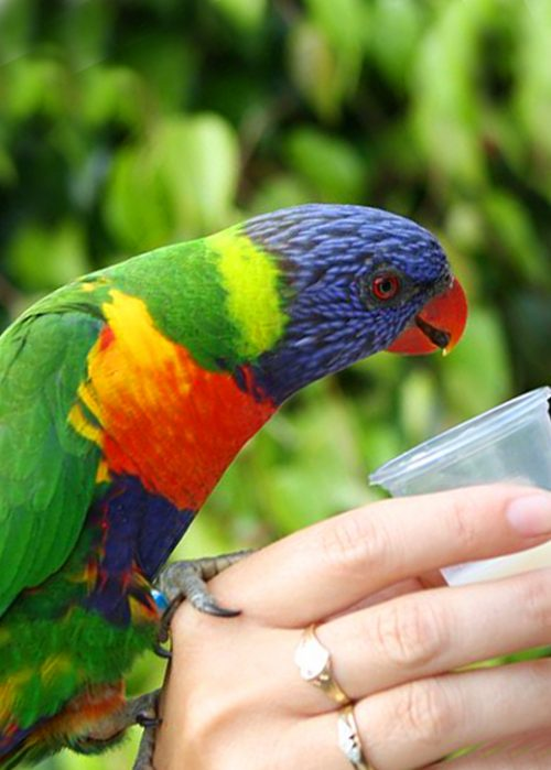 Nectar Food Lorikeet