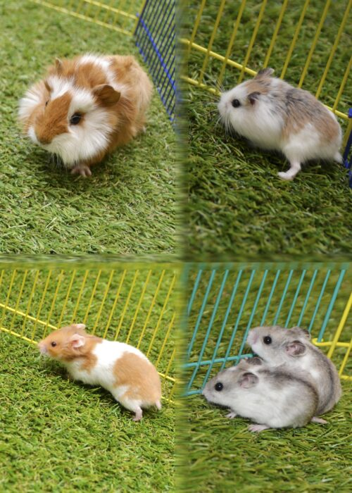 Rodents (Hamsters)